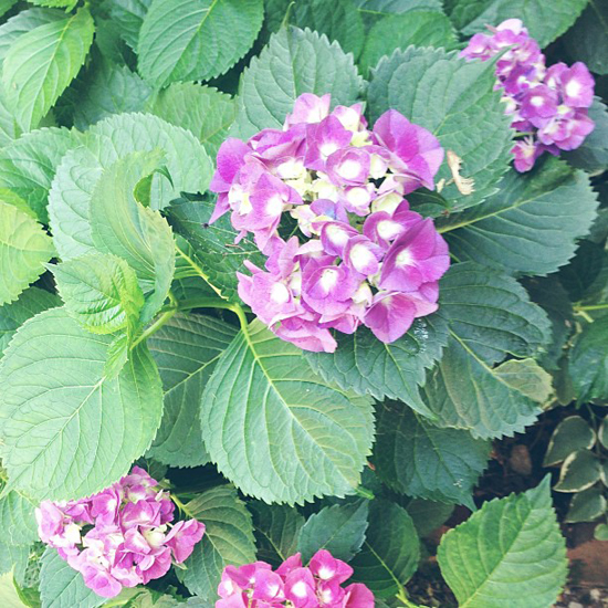 lush hydrangeas