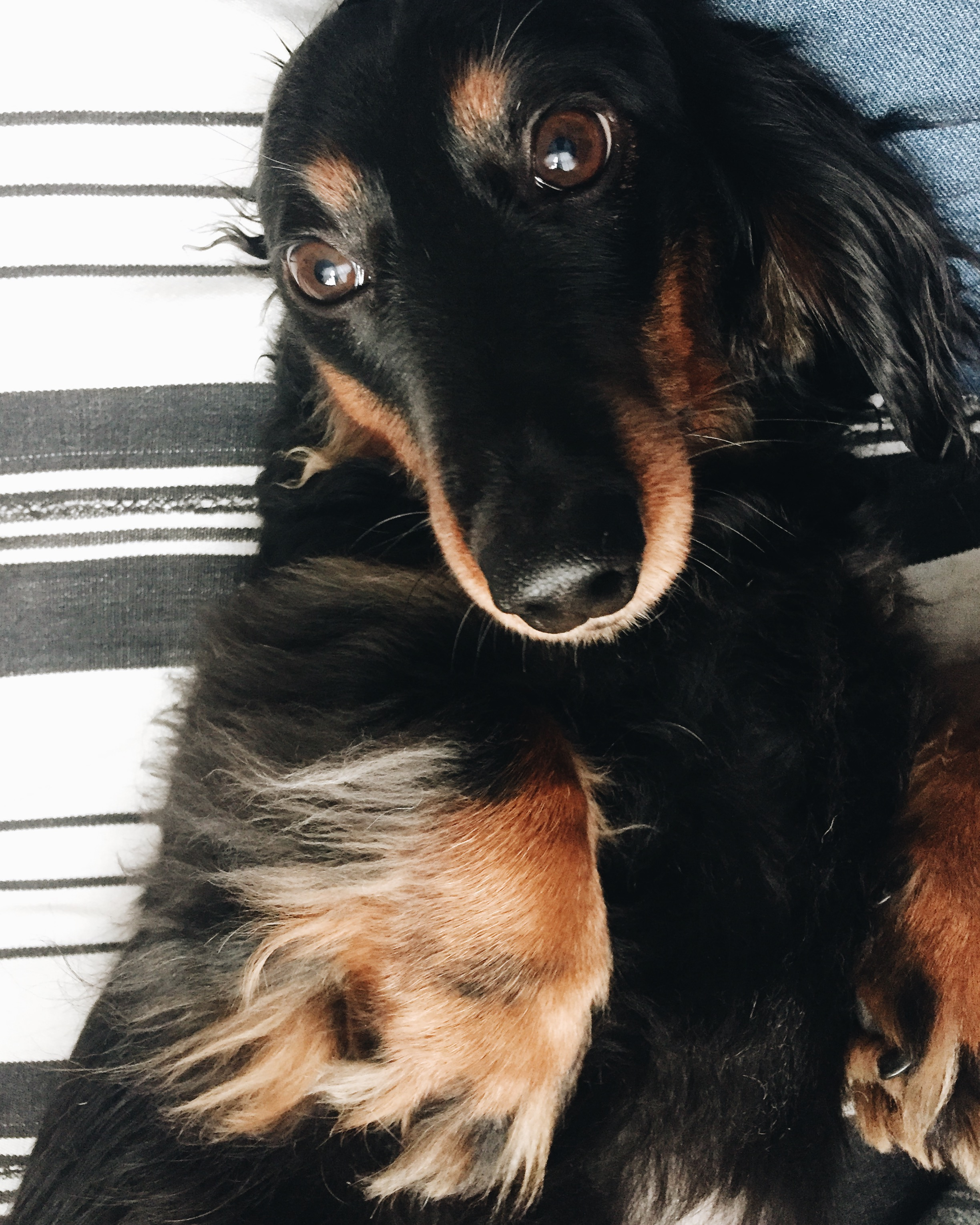 when the world is super crazy, I like to squeeze my furry friend, long haired dachshund. doesn't a wiener dog help everything? more on jojotastic.com