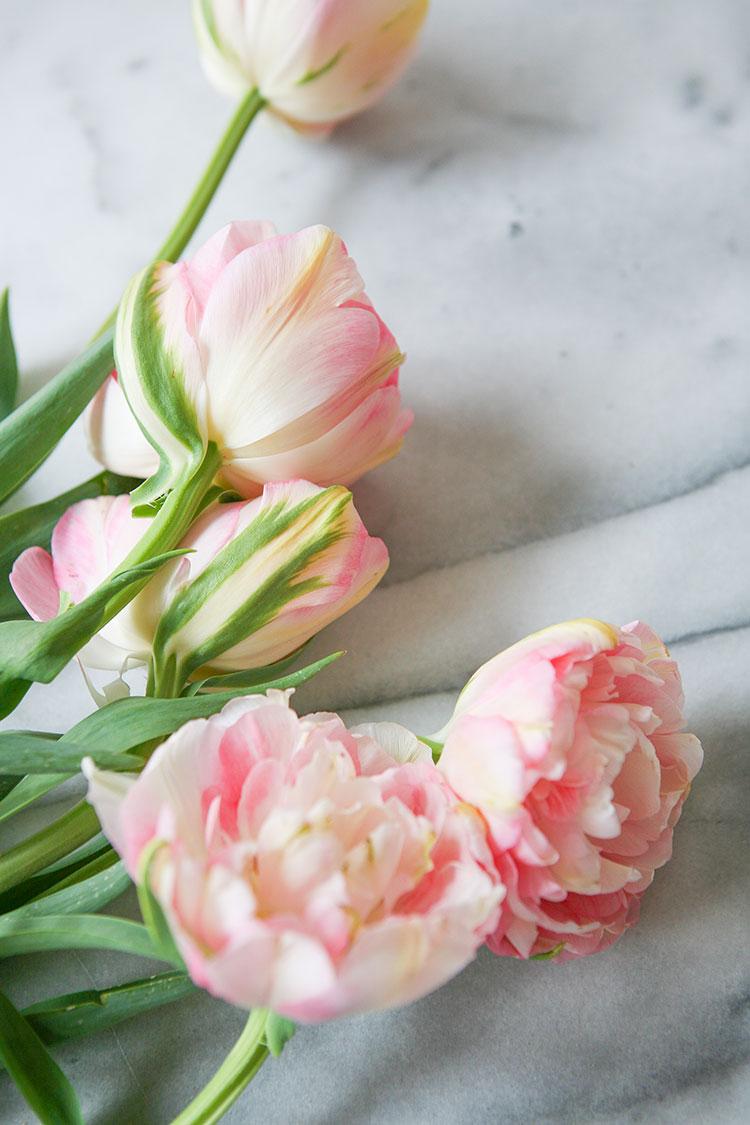 pale pink tulip peony hybrids for spring. springtime flowers.