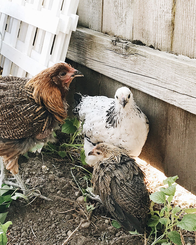 our backyard chickens story + favorite resources on jojotastic.com #urbanfarming #backyardchickens #chickens #fancychickens #chickencoop