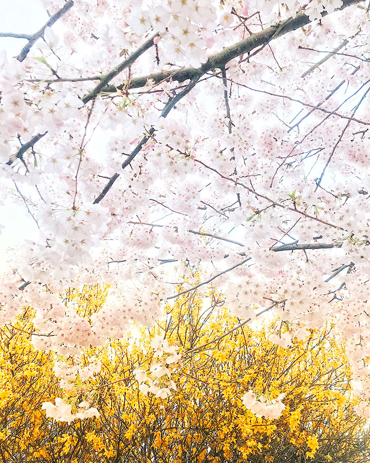 spring cherry blossoms and forsythia in seattle