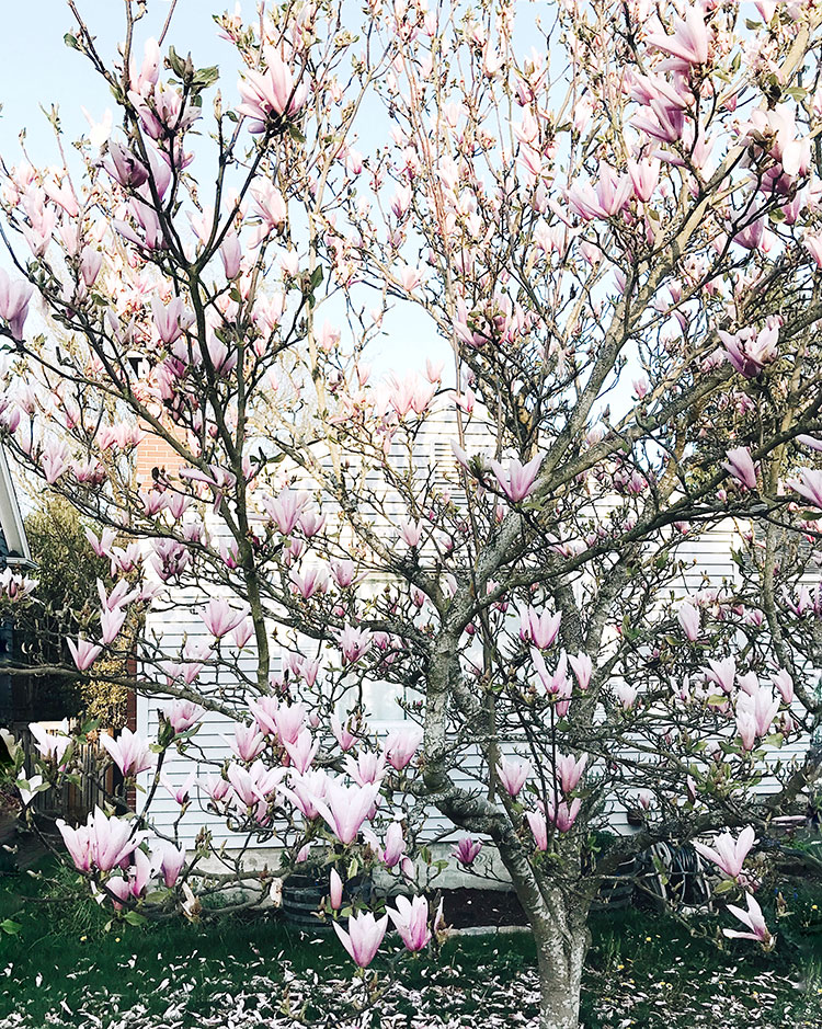 spring blooms in Seattle. giant magnolia tree.