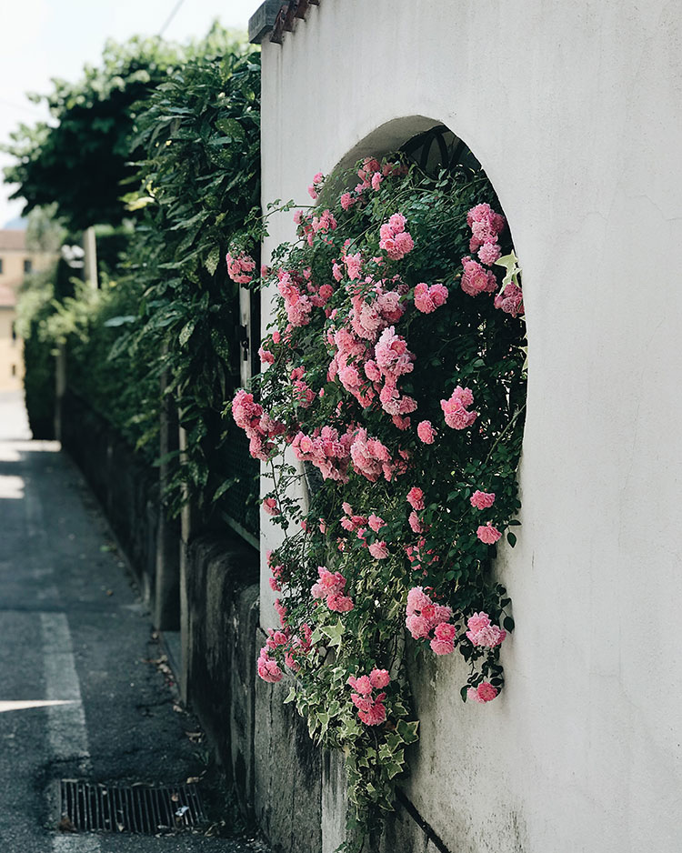The Weekend Edit - pink climbing roses in Varenna, Italy on Lake Como
