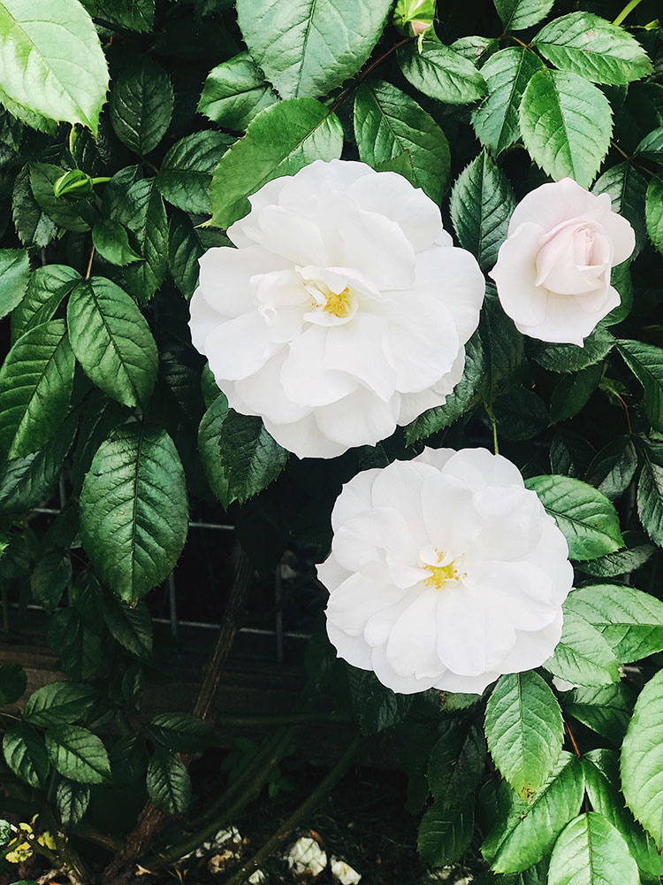 the weekend edit - local flowers. white climbing roses in Seattle. #climbingroses #roses #gardening