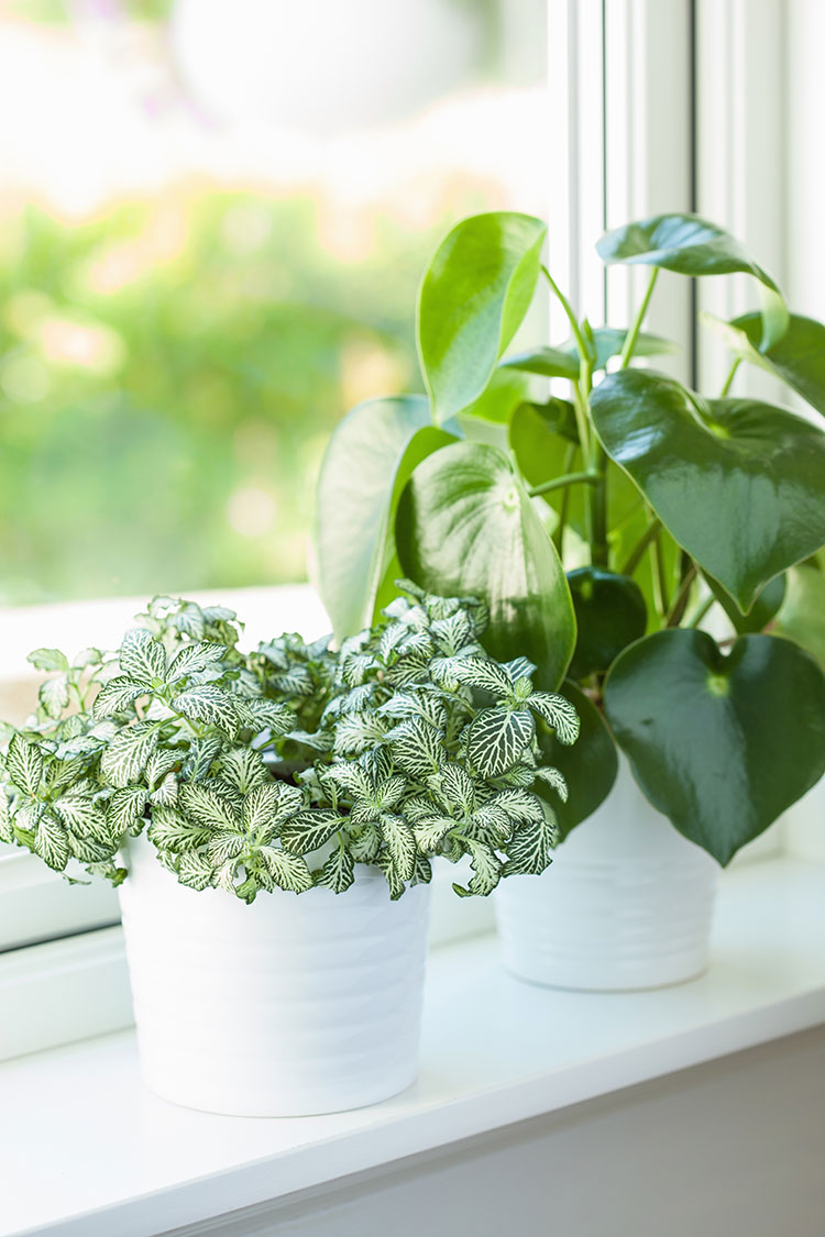 The Best Colorful House Plants to Add Style to Your Home! #plants #houseplants #lowlightplants #indoorgardening #tipsandtricks #decoratingwithplants #nerveplant #wanderingjew #elephantear #croton #calathea #Peperomia