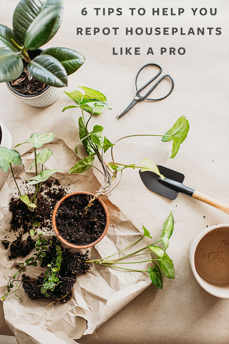 Learn how to repot your houseplants with these 6 easy tips including how to pick the right size pot, when to water the indoor plant, and when to repot a house plant.  #plants #houseplants #lowlightplants #indoorgardening #tipsandtricks #decoratingwithplants