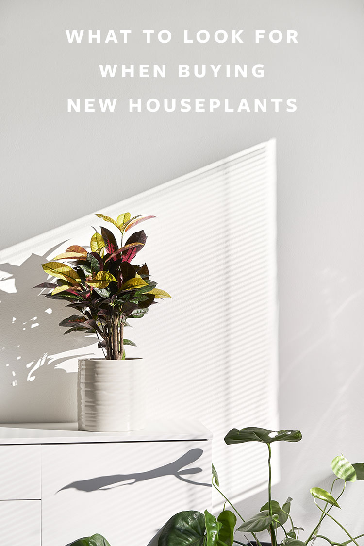 How to Buy Plants: What to Look for When Picking New Houseplants! Tips and tricks to help you shop for new plants like a pro. #plants #houseplants #lowlightplants #indoorgardening #tipsandtricks #decoratingwithplants