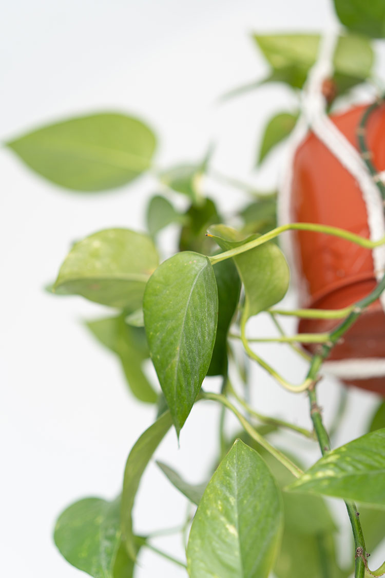 The Best Easy to Grow Hanging Plants for Your Home including Prayer Plant, Pothos, Spider Plant, String of Pearls and more. Tips for growing indoor hanging houseplants