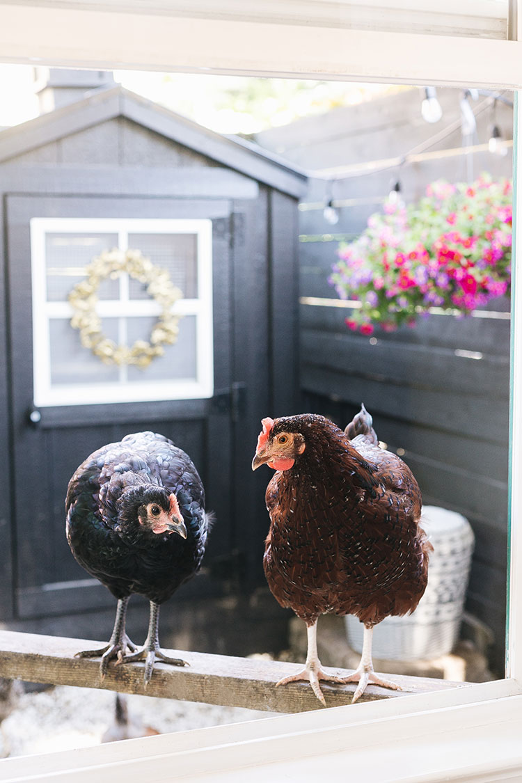 6 Surprising Things about Chicken Keeping You Should Know Before Getting a Backyard Flock!