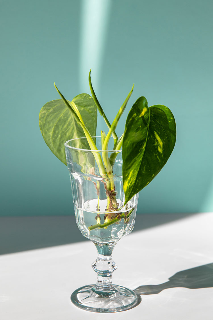 A Beginners Guide to Successfully Propagating Houseplants including leaf cutting, stem cutting, and plant division. Tips for plant propagation for pothos, spider plant, zz plant & more.