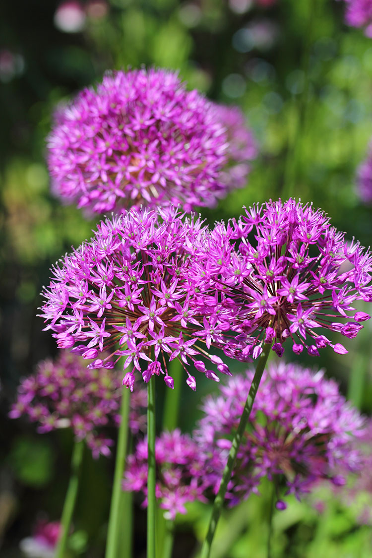 These 5 plants that keep away the bugs are garden essentials — not only because they are beautiful but because bugs (like mosquitos) hate them! Including marigolds, alliums, lavender, rosemary, and lemongrass for natural bug repellent